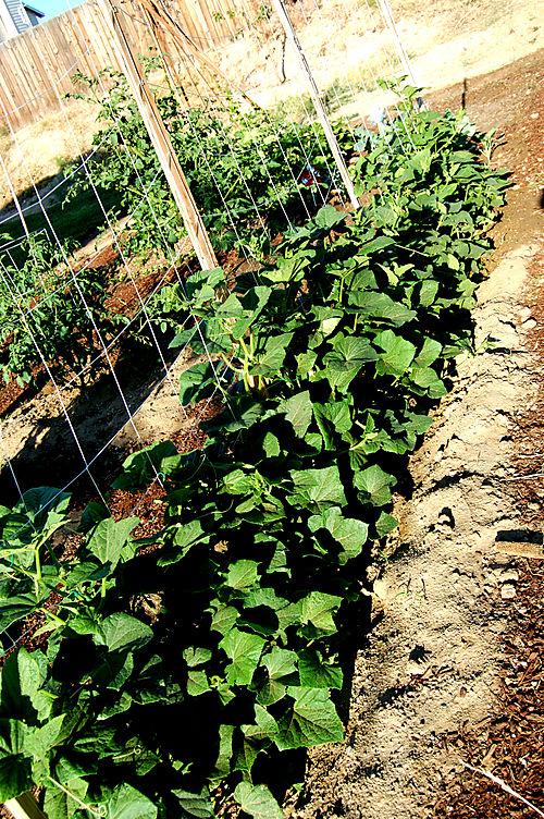 Climbing cucumbers1