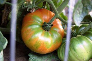 Garden tomatoes 092009-08-20