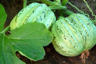 Garden squash 092009-08-20