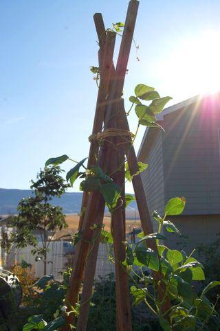 Garden beans 092009-08-20