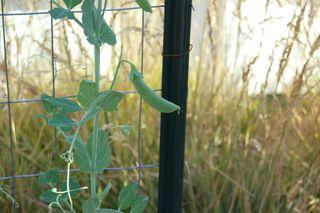 Garden snap peas 092009-08-20