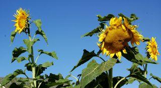 Garden sunflowers 092009-08-20