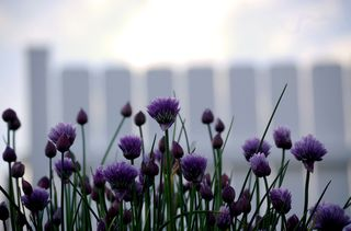 Chives and fence